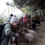 Radosne dzieci przyglądają się barankom.